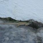 Lizard, Marina Grande, Capri